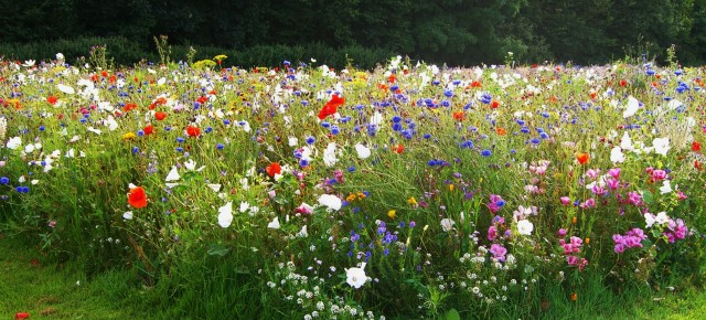 Euroflor welcomes RHS wildflower meadow initiative