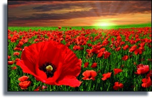 Flanders field Poppies from Pictorial Meadows