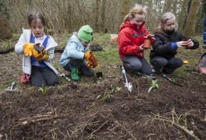 planting John Chambers bluebells for Shakespeare week (6)
