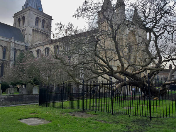 Metal railings protect famous Catalpa tree in Rochester