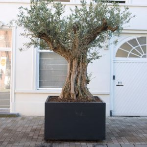copy-of-buxus-cube-1